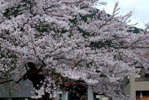 愛知県民の森-桜