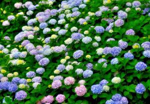 紫陽花-あじさい