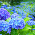 紫陽花(あじさい)に赤と青の色の違いが出る理由