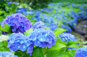 紫陽花-あじさい-青
