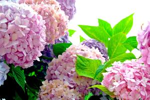 紫陽花-あじさい-赤