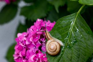 梅雨-あじさい-かたつむり
