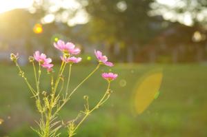 コスモス-秋桜