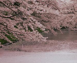 花筏-はないかだ-春-桜
