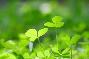 クローバー-春-植物