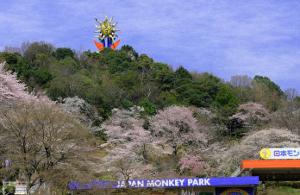 日本モンキーパーク-桜