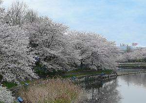 桜-荒子川公園