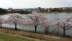 桜-新海池公園
