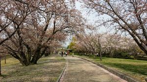 桜-落合公園-2016-