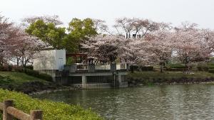桜-落合公園-2016
