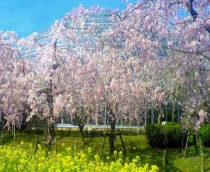 桜-東谷山フルーツパーク