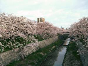 桜-山崎川