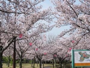桜-明石公園(碧南市)