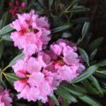 石楠花の読み方はシャクナゲ│石楠花の花言葉と季節