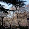 【お花見】桜の木の下でどんちゃん騒ぎする理由